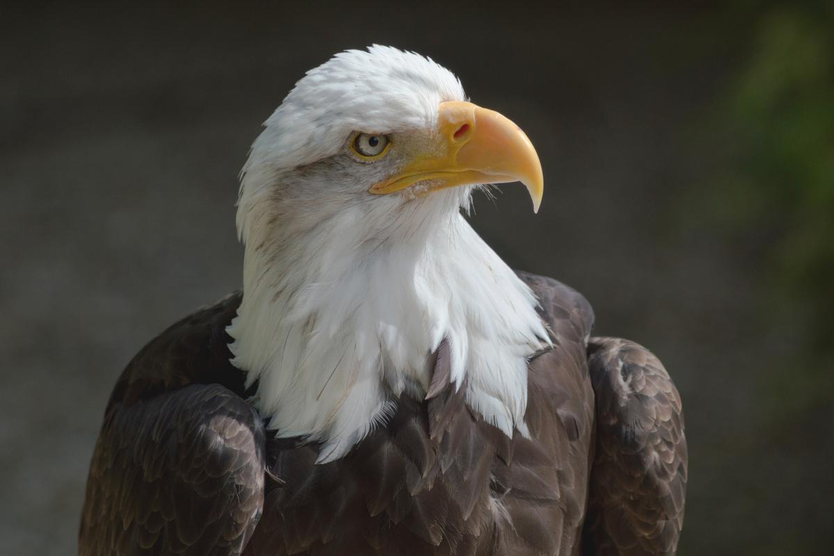 "<strong>Bald Eagle</strong>  Photo: Lewis Hulbert (Cropped <a href=""https://creativecommons.org/licenses/by-sa/4.0/"" target=""_blank"">C.C. 4.0</a>)"