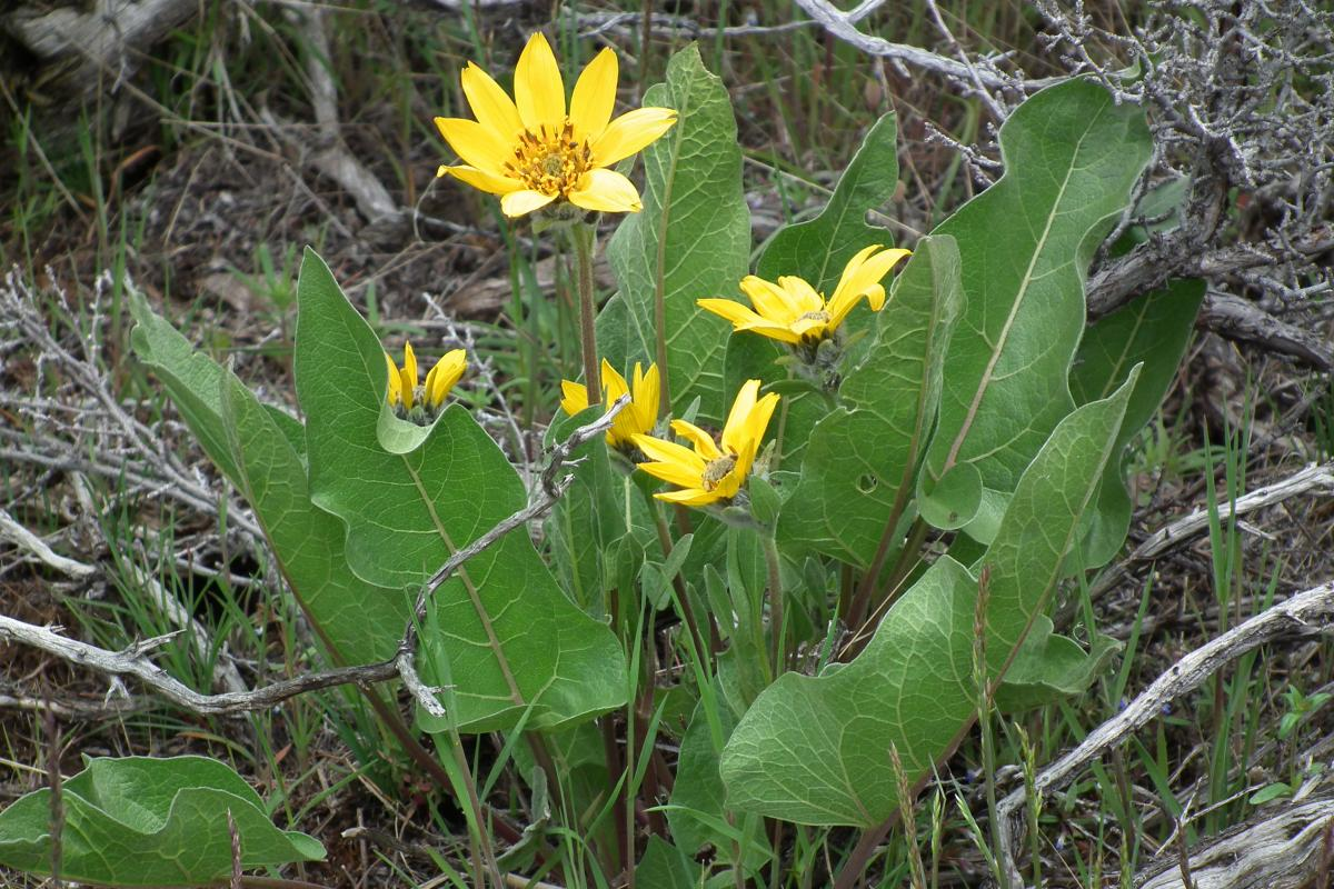 "<strong>Balsamroot</strong>  Photo: Blue Canoe  (Cropped <a href=""https://creativecommons.org/licenses/by/3.0/"" target=""_blank"">C.C. 3.0</a>)"