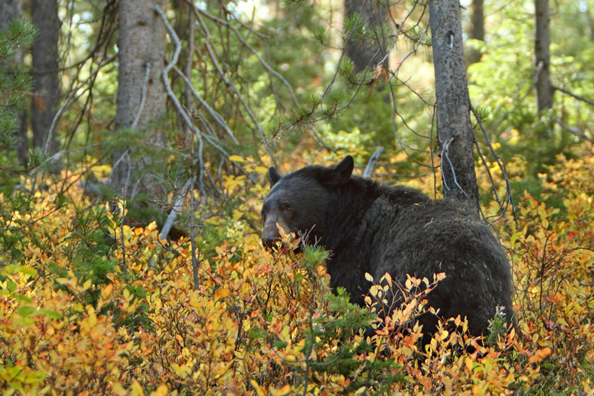 "<strong>Black Bear</strong>  Photo: Alan Vernon  (Cropped <a href=""https://creativecommons.org/licenses/by/2.0/"" target=""_blank"">C.C. 2.0</a>)"