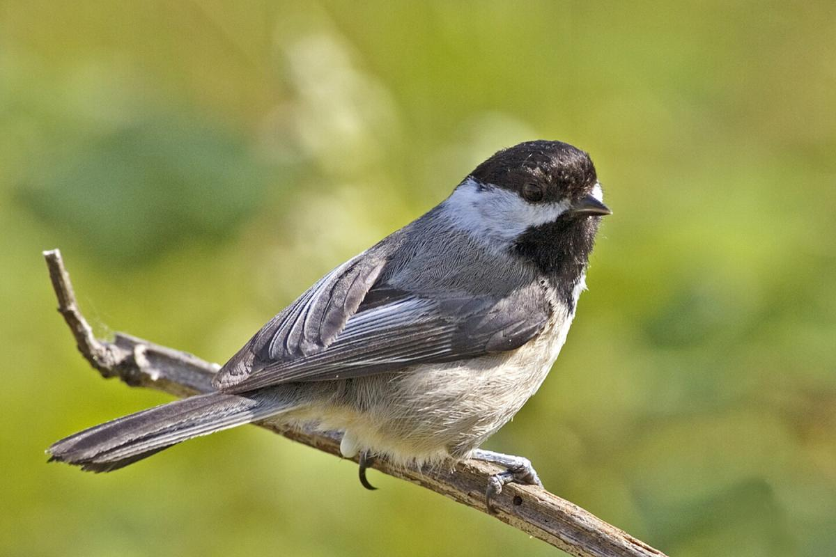 "<strong>Black Capped Chickadee</strong>  Photo: Alan D. Wilson (Cropped <a href=""https://creativecommons.org/licenses/by/2.5/"" target=""_blank"">C.C. 2.5</a>)"