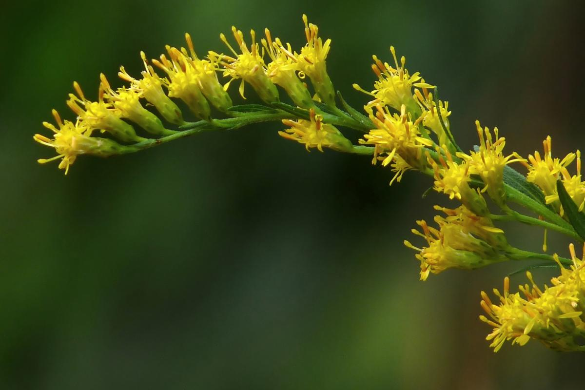 "<strong>Canada Goldenrod</strong>  Photo: Jeevan Jose (Cropped <a href=""https://creativecommons.org/licenses/by-sa/4.0/"" target=""_blank"">C.C. 4.0</a>)"