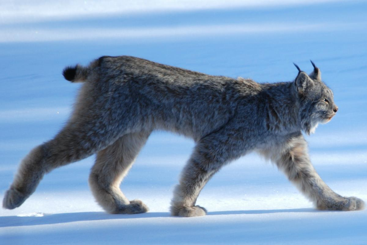 "<strong>Canadian Lynx</strong>  Photo: Keith Williams (Cropped <a href=""https://creativecommons.org/licenses/by/2.0/"" target=""_blank"">C.C. 2.0</a>)"