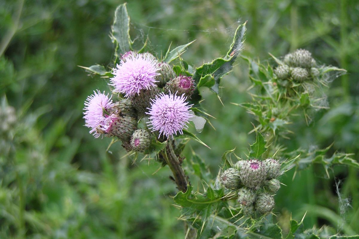"<strong>Canadian Thistle</strong>  Photo: MrJones  (Cropped <a href=""https://creativecommons.org/licenses/by/3.0/"" target=""_blank"">C.C. 3.0</a>)"