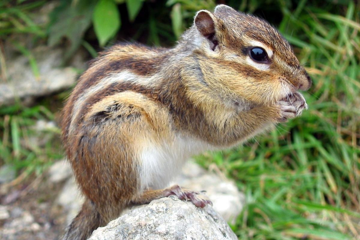 <strong>Chipmunk</strong>  Photo: AndyW (Cropped Public Domain)