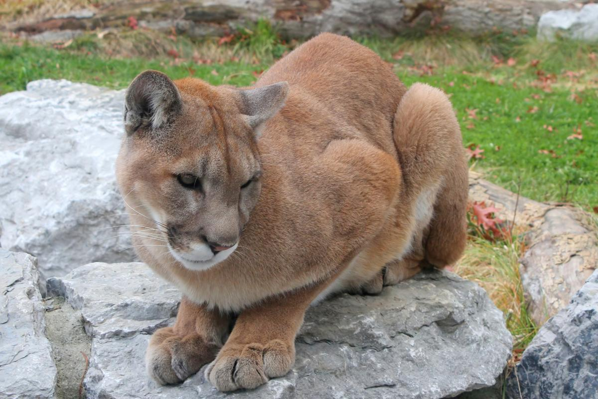 "<strong>Cougar</strong>  Photo: Greg Hume (Cropped <a href=""https://creativecommons.org/licenses/by-sa/3.0/"" target=""_blank"">C.C. 3.0</a>)"
