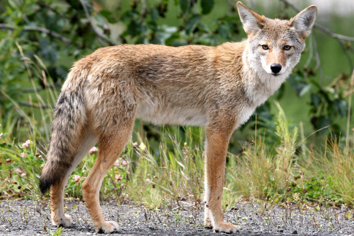 "<strong>Coyote</strong>  Photo: Jitze (Cropped <a href=""https://creativecommons.org/licenses/by/2.0/"" target=""_blank"">C.C. 2.0</a>)"
