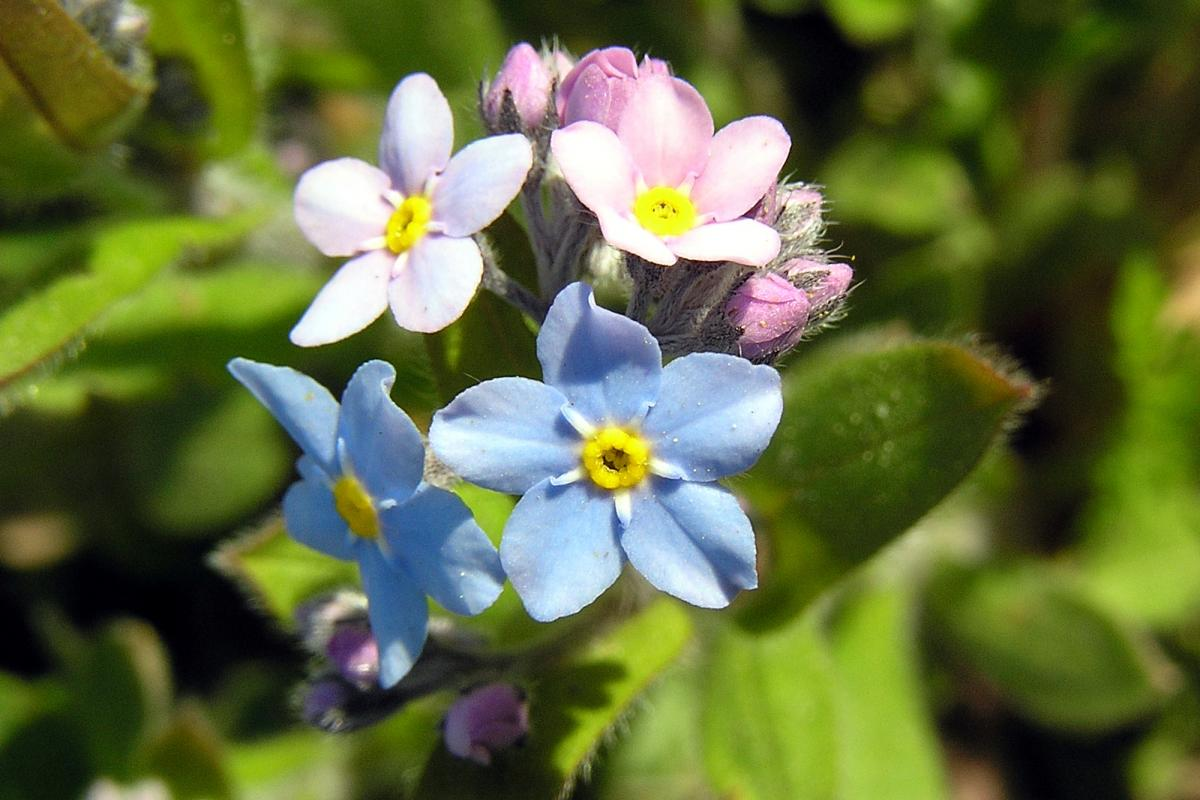 "<strong>Forget-Me-Nots</strong>  Photo: Sedum (Cropped <a href=""https://creativecommons.org/licenses/by/2.5/"" target=""_blank"">C.C. 2.5</a>)"