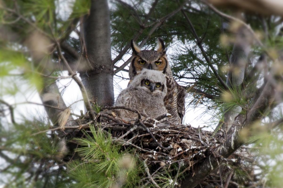 "<strong>Great Horned Owl</strong>  Photo: John Kees (Cropped <a href=""https://creativecommons.org/licenses/by/3.0/"" target=""_blank"">C.C. 3.0</a>)"