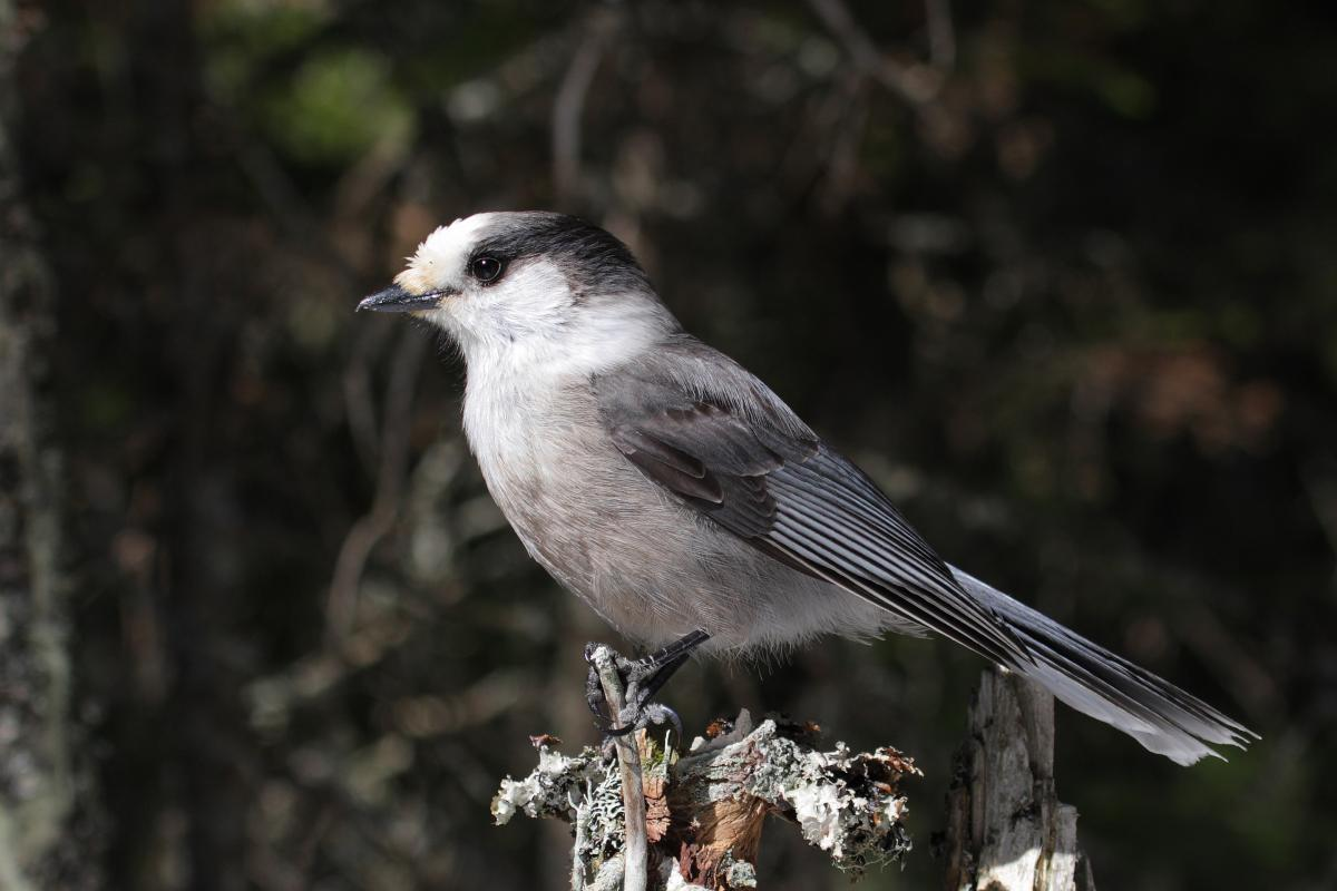 "<strong>Grey Jay</strong>  Photo: Simon Pierre Barrette (Cropped <a href=""https://creativecommons.org/licenses/by/3.0/"" target=""_blank"">C.C. 3.0</a>)"
