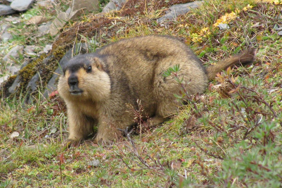 "<strong>Marmot</strong>  Photo: Christopher J. Fynn (Cropped <a href=""https://creativecommons.org/licenses/by-sa/3.0/"" target=""_blank"">C.C. 3.0</a>)"