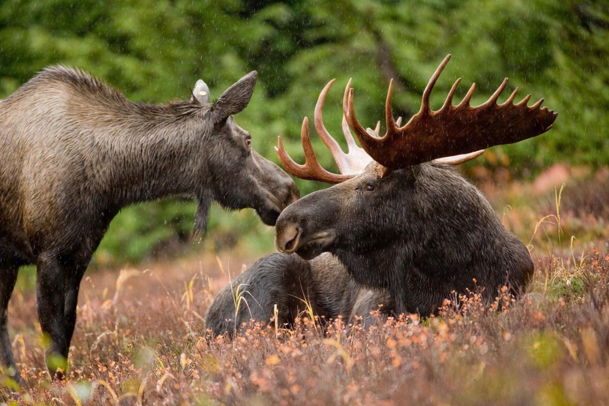 <strong>Moose</strong>  Photo: Ryan Hagerty (Cropped Public Domain)