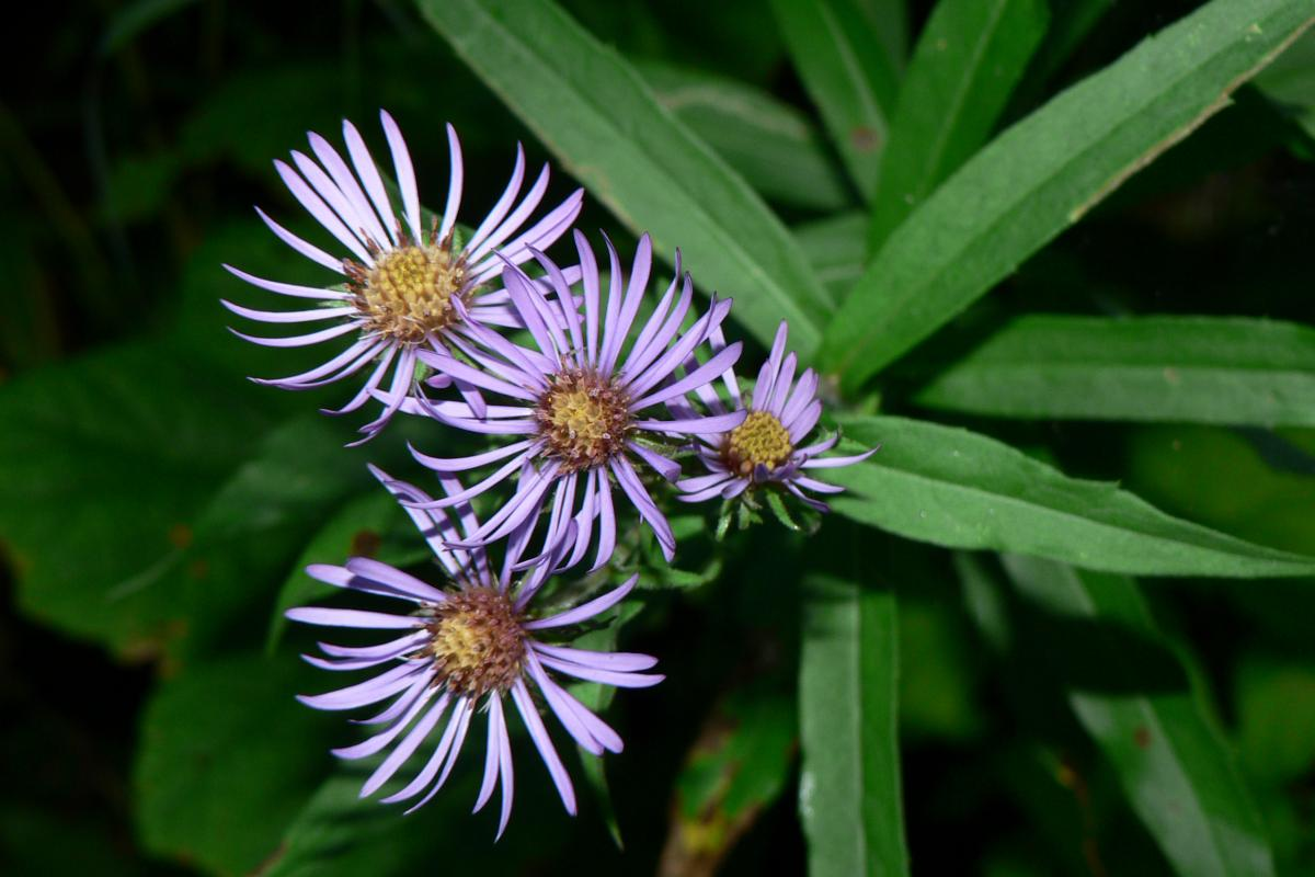 "<strong>Mountain Aster</strong>  Photo: Walter Siegmund  (Cropped <a href=""https://creativecommons.org/licenses/by/2.5/"" target=""_blank"">C.C. 2.5</a>)"