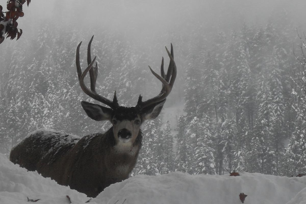 "<strong>Mule Deer</strong>  Photo: Christina Bergquist (Cropped <a href=""https://creativecommons.org/licenses/by-sa/3.0/"" target=""_blank"">C.C. 3.0</a>)"