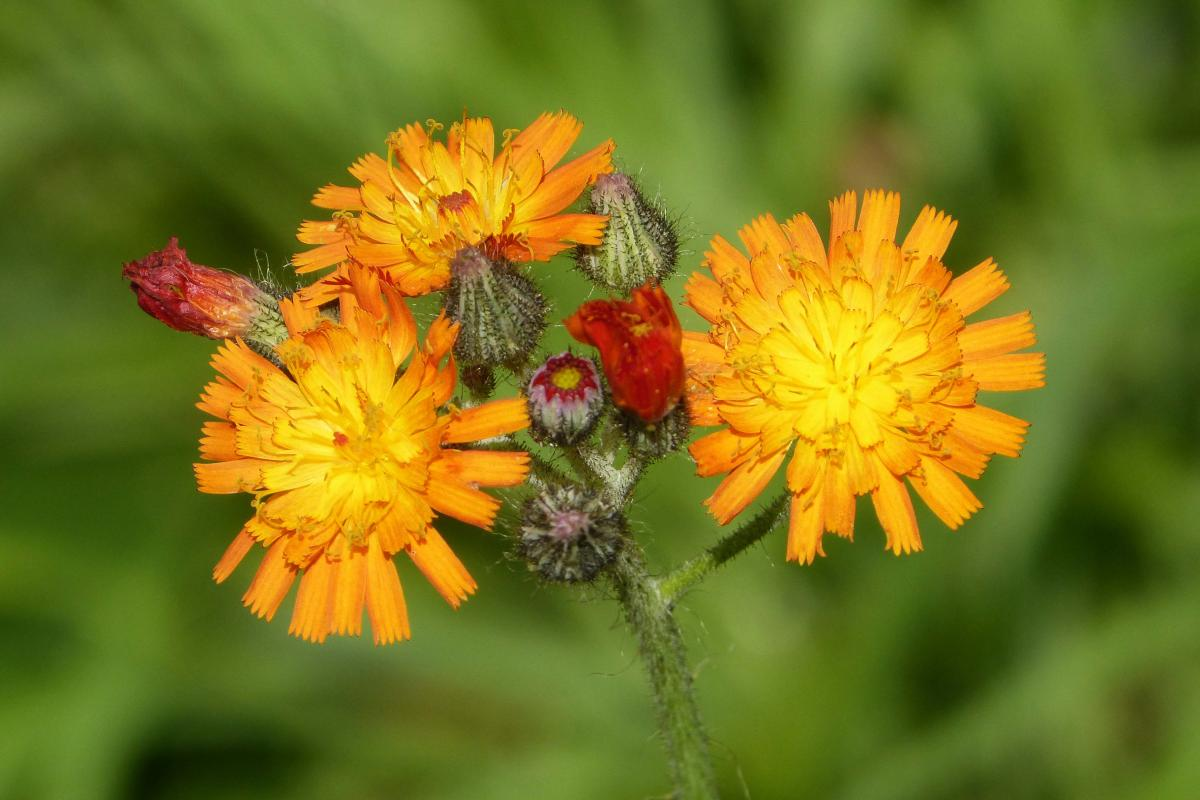 "<strong>Orange Hawkweed</strong>  Photo: gailhampshire  (Cropped <a href=""https://creativecommons.org/licenses/by/2.0/"" target=""_blank"">C.C. 2.0</a>)"