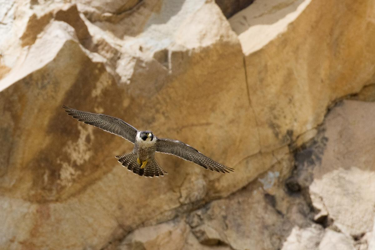 "<strong>Peregrine Falcon</strong>  Photo: Kevin Cole (Cropped <a href=""https://creativecommons.org/licenses/by/2.0/"" target=""_blank"">C.C. 2.0</a>)"