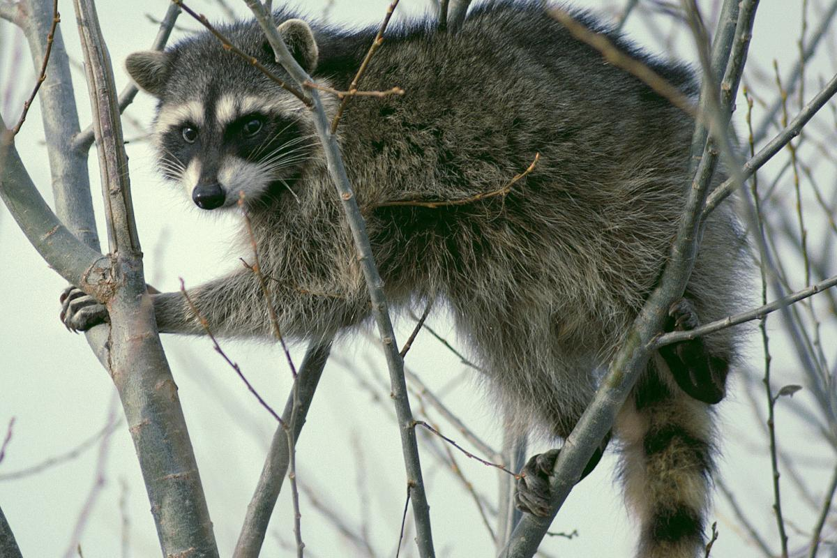 <strong>Raccoon</strong>  Photo: Dave Menke (Cropped Public Domain)