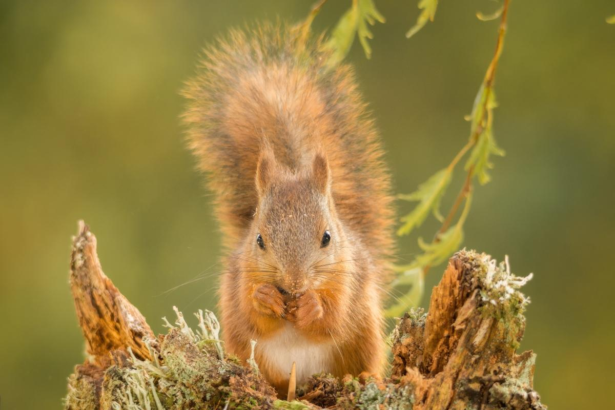 "<strong>Red Squirrel</strong>  Photo: Geert Weggen (Cropped <a href=""https://creativecommons.org/licenses/by-sa/4.0/"" target=""_blank"">C.C. 4.0</a>)"