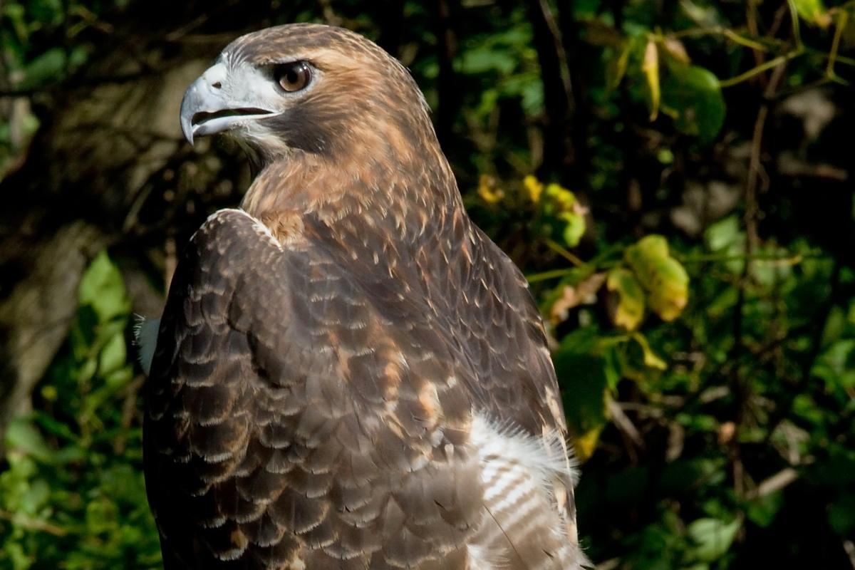 "<strong>Red Tailed Hawk</strong>  Photo: Greg Hume (Cropped <a href=""https://creativecommons.org/licenses/by/3.0/"" target=""_blank"">C.C. 3.0</a>)"