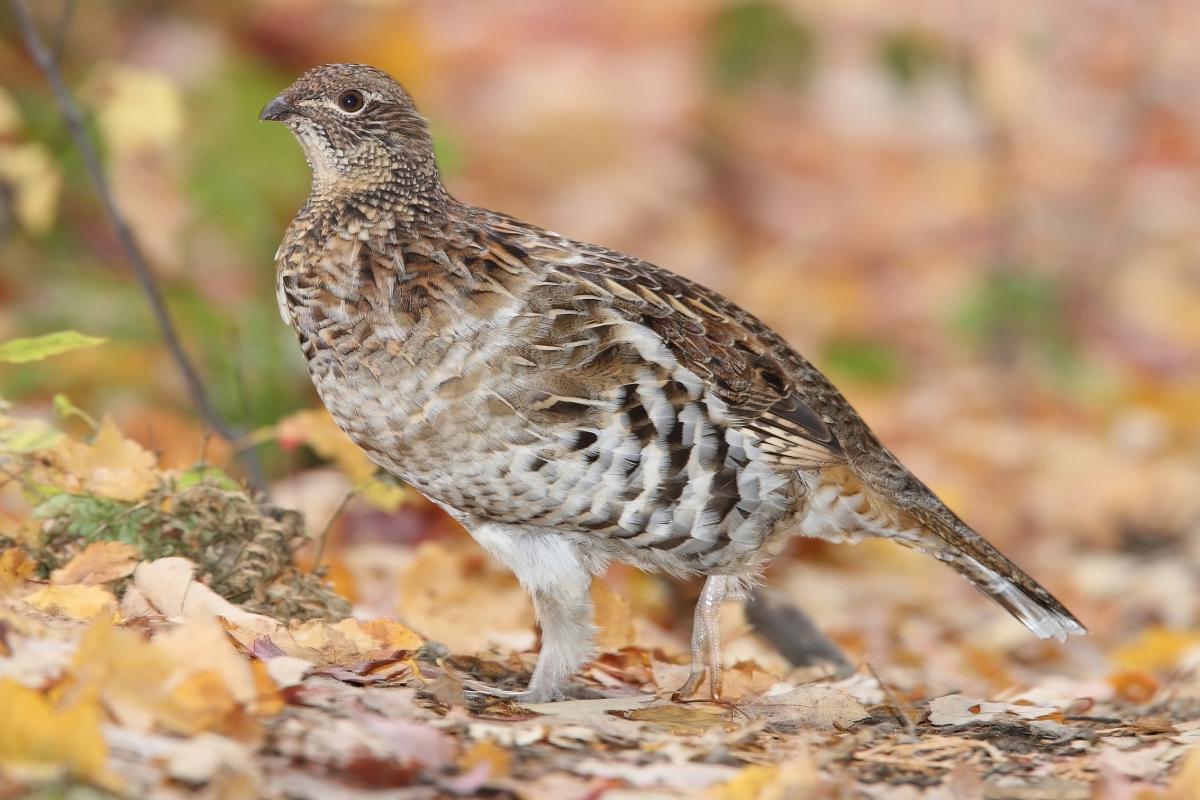 "<strong>Ruffed Grouse</strong>  Photo: Mdf (Cropped <a href=""https://creativecommons.org/licenses/by/3.0/"" target=""_blank"">C.C. 3.0</a>)"