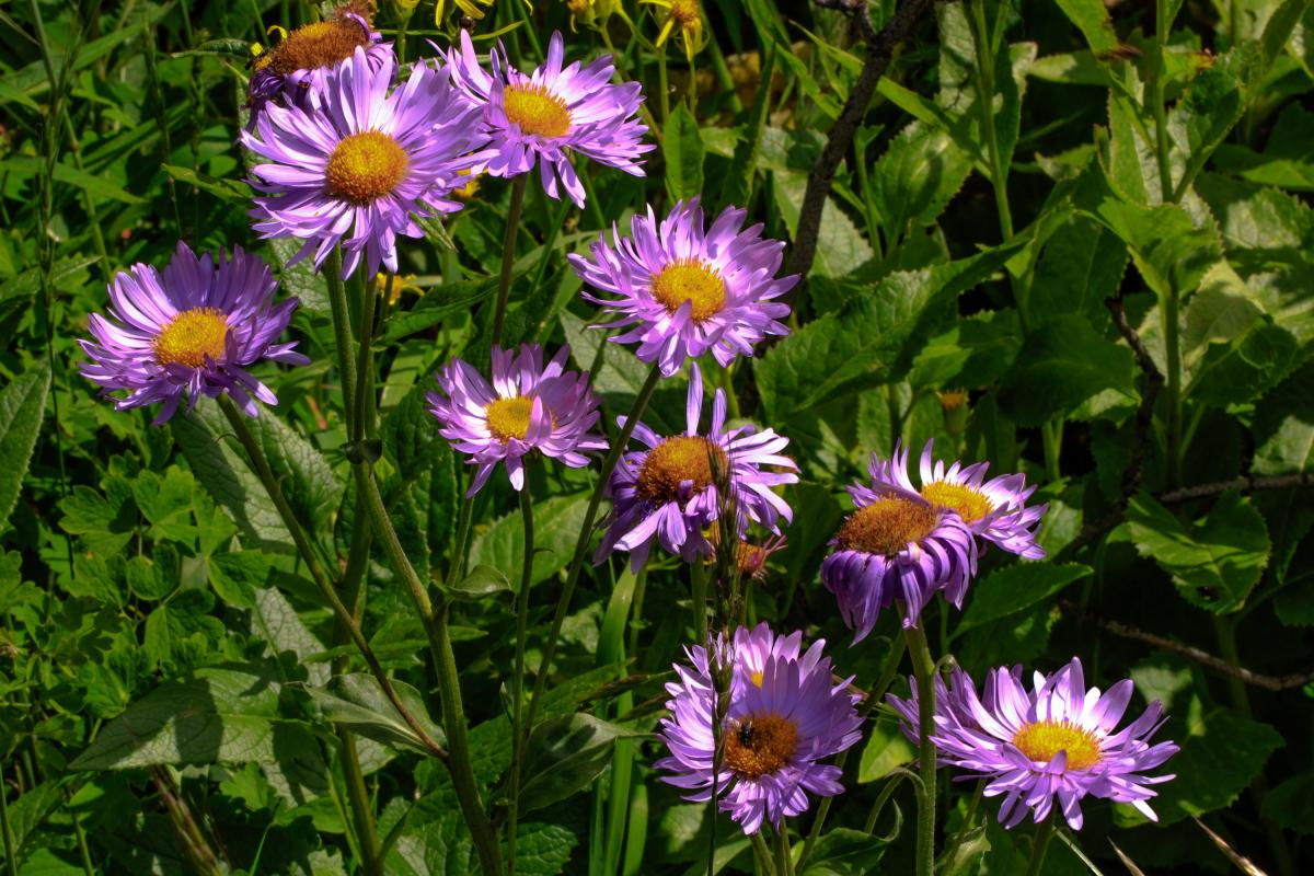 "<strong>Sub-Alpine Daisy</strong>  Photo: Murray Foubister  (Cropped <a href=""https://creativecommons.org/licenses/by/2.0/"" target=""_blank"">C.C. 2.0</a>)"
