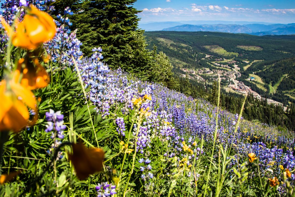 Wildflowers on Tod Mountain. Photo: Sam Egan